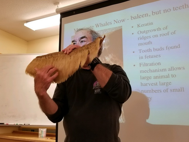 Dr. Hal Weeks demonstrating the filter feeding powers of baleen.