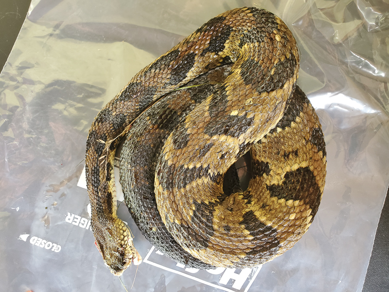 Dead on the road Timber Rattlesnake, collected by the National Park Service to be used for genetic studies.