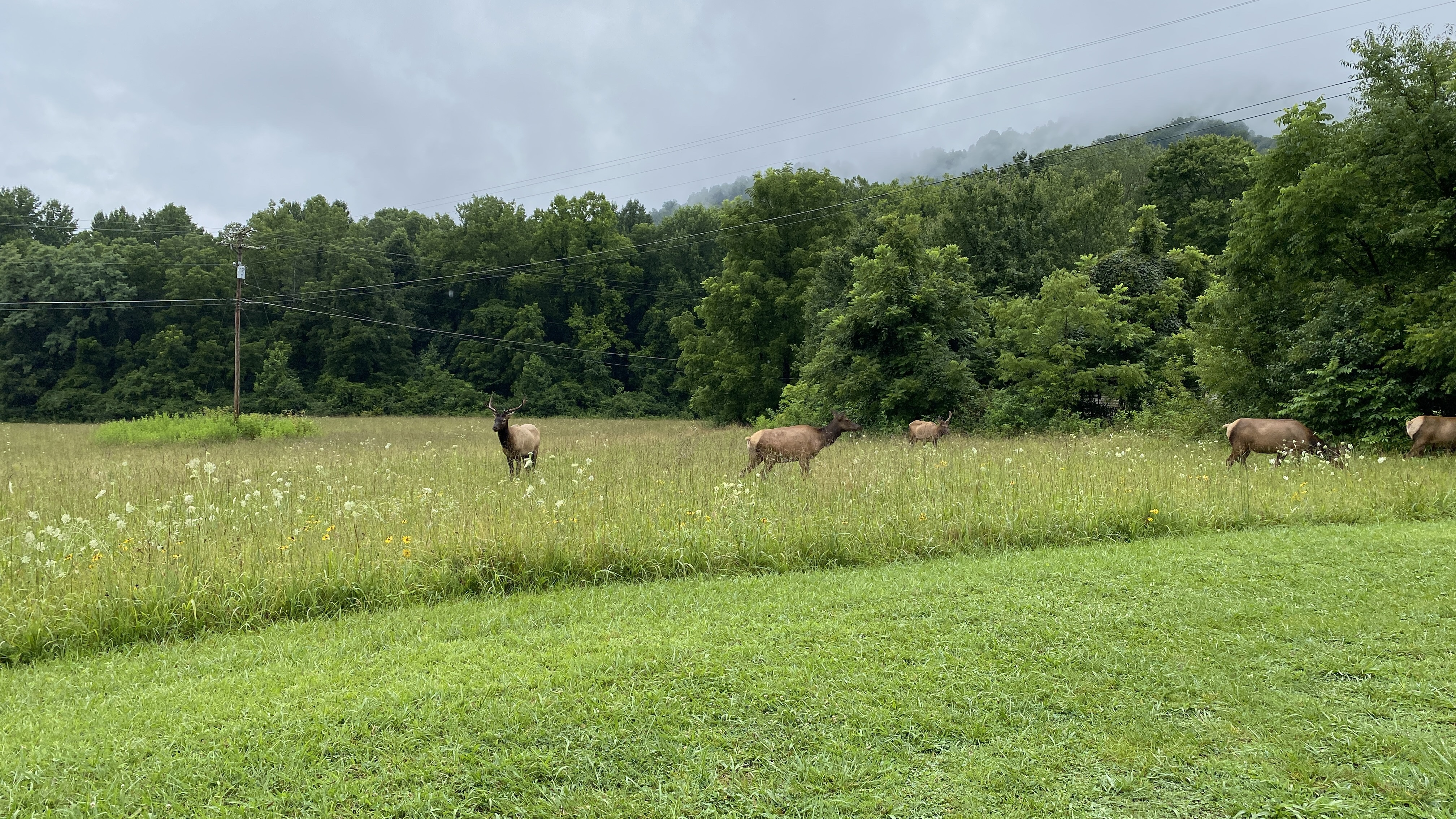 Five elk in a field of grasses and wildflowers